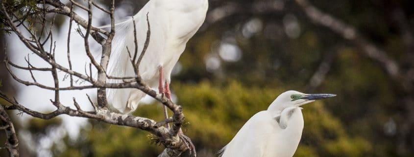 Native White Herons